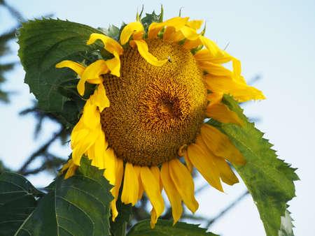 helianthus: Close up of Sunflower (Helianthus)