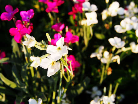 stock: Matthiola incana - hoary stock Stock Photo