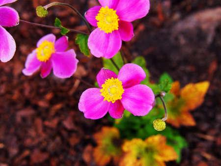 japonica: Anemone hupehensis var. japonica Splendens - Japanese anemone, thimbleweed, windflower Stock Photo