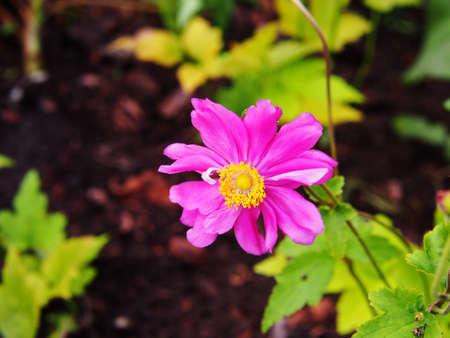 OLYMPUS DIGITAL CAMERAAnemone hupehensis var. japonica Prinz Heinrich - Japanese anemone, thimbleweed, windflower