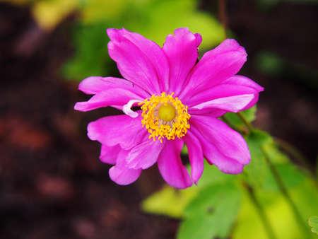 Anemone hupehensis var. japonica Prinz Heinrich - Japanese anemone, thimbleweed, windflower