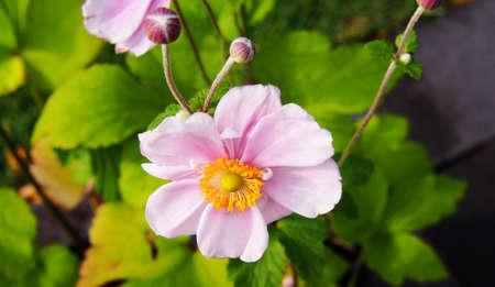 Anemone hupehensis var. japonica Konigin Charlotte - Japanese anemone, thimbleweed, windflower Stock Photo