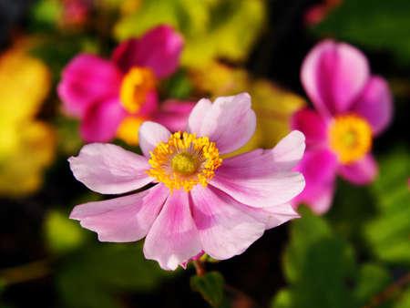 japonica: Anemone hupehensis var. japonica Konigin Charlotte - Japanese anemone, thimbleweed, windflower Stock Photo
