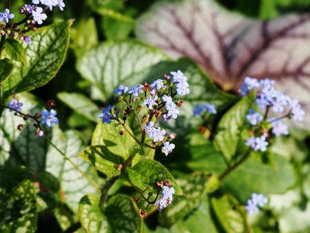 Brunner macrophylla Jack Frost - Siberian Bugloss