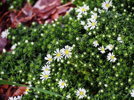 creeping plant: Aster speciosus Connecticut Stock Photo