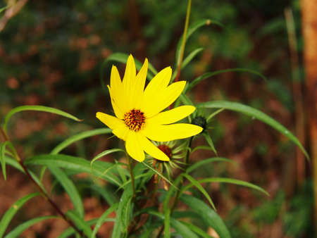 syn: Helianthus salicifolius (syn. Orgyalis Helianthus) - willow-leaved sunflower, sunflower Willowleaf