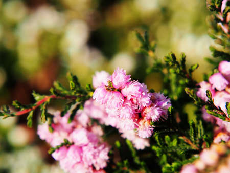 Calluna vulgaris HE Beale - common heather, ling