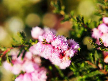 ericaceae: Calluna vulgaris HE Beale - common heather, ling