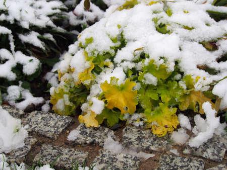 Winter shot of Heuchera (coral bells, alumroot) Lime Marmalade