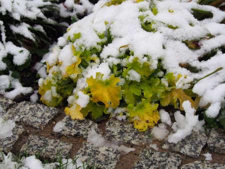 coral bell: Winter shot of Heuchera (coral bells, alumroot) Lime Marmalade