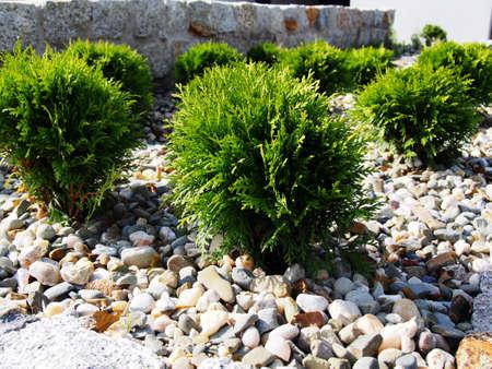 Thuja occidentalis Danica - northern white-cedar, eastern arborvitae