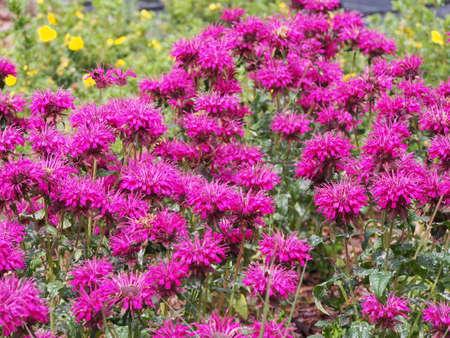 Monarda (bee balm, horsemint, oswego tea, bergamot) in full bloom Stock Photo