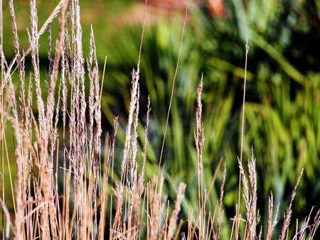 Acutiflora Calamagrostis Karl Foerster - feather reed-grass