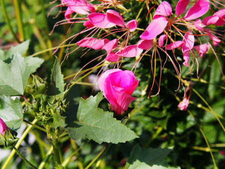 syn: Lavater trimestris (syn. Althaea trimestris) - annual mallow Stock Photo
