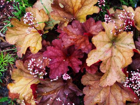 Heuchera Paprika - coral bells, alumroot