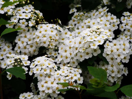 Spiraea betulifolia - white meadowsweet, birch leaf spirea Stock Photo