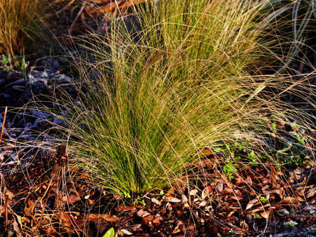 Stipa tenuissima Pony Tails (son of Nassella tenuissima) - Mexican feather grass, Texas needle grass, needlegrass, fineleaved nassella, Argentine needle-grass 版權商用圖片