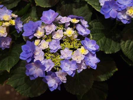 Double flowered Hydrangea macrophylla - bigleaf hydrangea, French hydrangea, lacecap hydrangea, hortensia