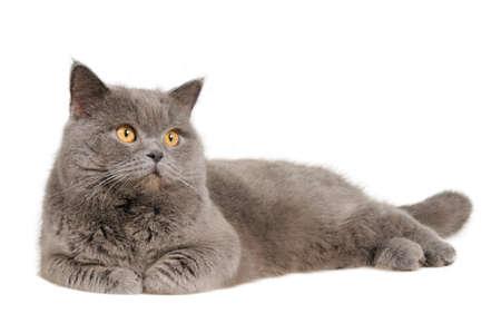gato gris: gato