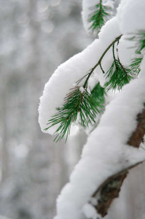 Coniferous branch covered with snow in forest