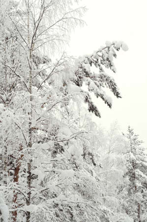 snowscene: Snow covered trees in the winter forest