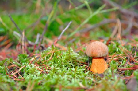 fungous: Mushroom in the moss. In pine forest