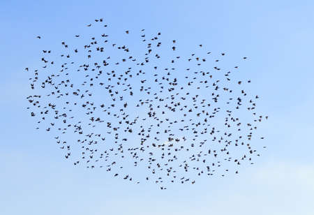 A flock of birds in the blue sky.