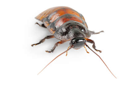 Madagascar cockroach. Isolated on white. Close up Stock Photo