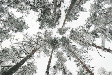Snow-covered tops of the trees in the winter forest photo