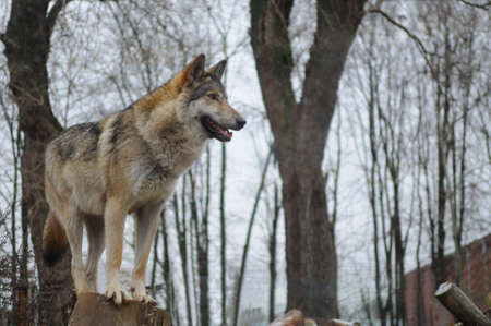 Wolf looking into the distance against background of trees