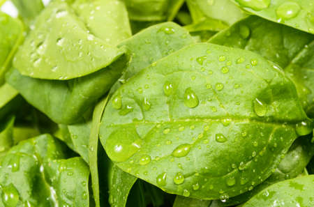 Spinach leaves close up, with water drops Stock Photo