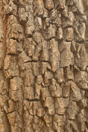 bark carving: Bark of an old tree
