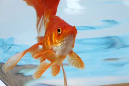 The gold small fish floats in an aquarium close up  photo