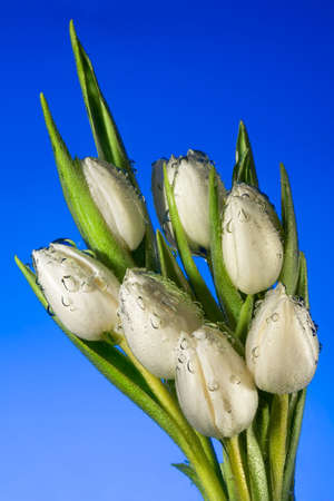Seven white tulips in water with air vials close up on a blue background photo