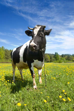 heifers: The adult black-and-white cow stands on a green grass with yellow flowers