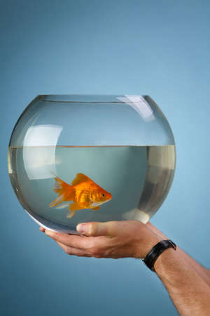 lyretail: Mans hands hold a round aquarium in which the gold small fish floats