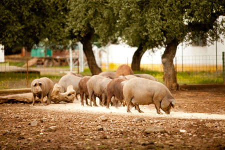 feed: Group of brown pigs are eating a forage Stock Photo