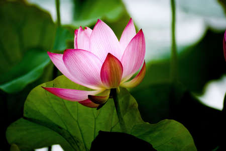 A lotus in temple area in Thailand Stock Photo - 6627283