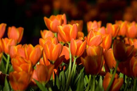 Tulip in flower festival in north of Thailand.