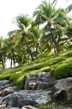 Coconut tree in a garden Stock Photo