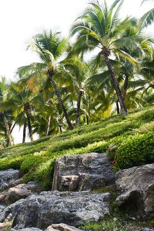 Coconut tree in a garden Stock Photo