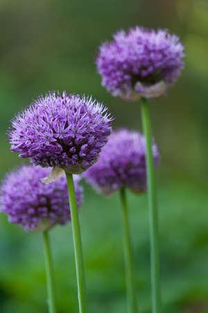 Purple flower in a park in uk.