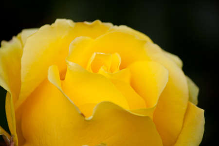 A yellow rose, close up short.