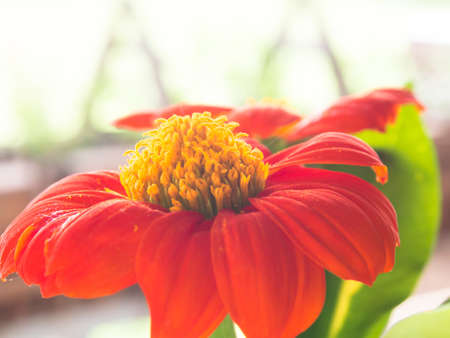 A red flower and yellow carpel against blurred sunlight background Stock Photo - 15683047