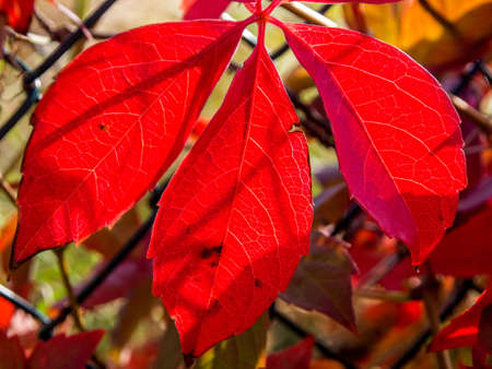 Three red leaves and sun light
