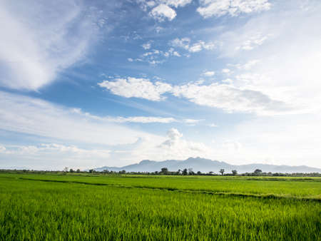 Green rice paddy in Thailand with mountain ,blue sky and cloud  This is the very first stage of growing rice