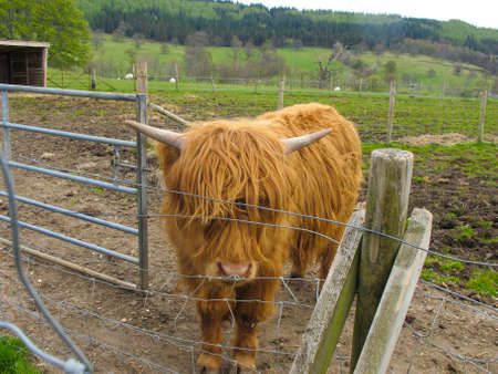 Hamish, high land cow with brown fur in feance in Scotland