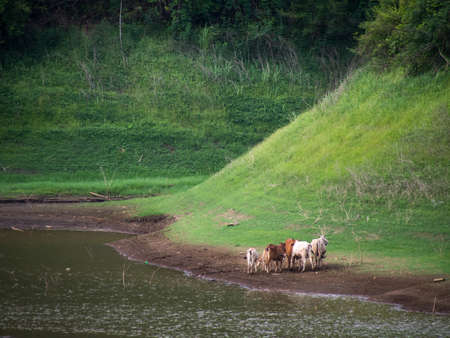 a Cattle on a river bank in countryside of thailand.