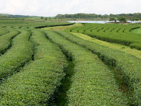 Rows of tee to make tea drink in Chiang Rai, Thailand .