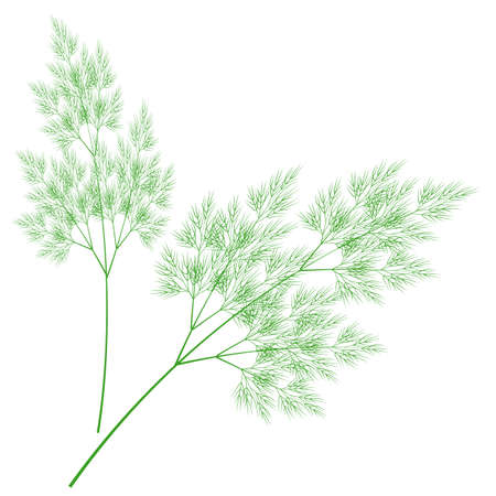 Branches of fresh dill branches. Tasty and healthy spicy grass. Seasoning with meat and vegetable dishes. Vector illustration. Illustration